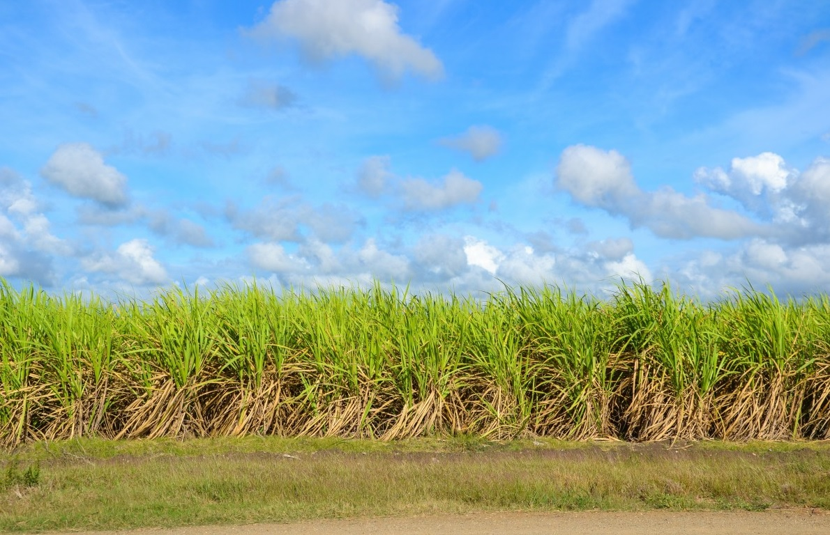 sugar_cane_field_cultivation_cultures_agriculture_arable_arable_land_rural-1206208 (1)